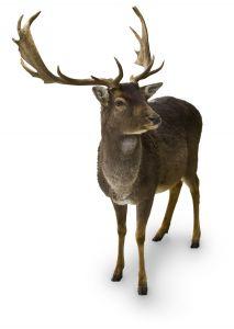 deer-1138596-m